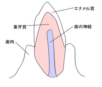 歯の構造.jpg